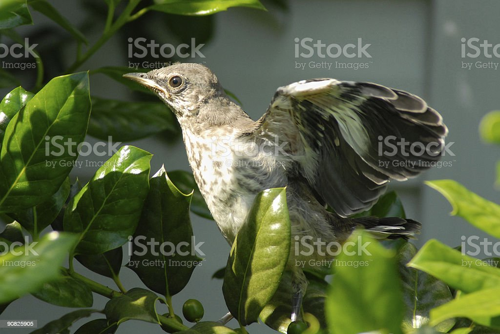 Stretching Those Wings royalty-free stock photo