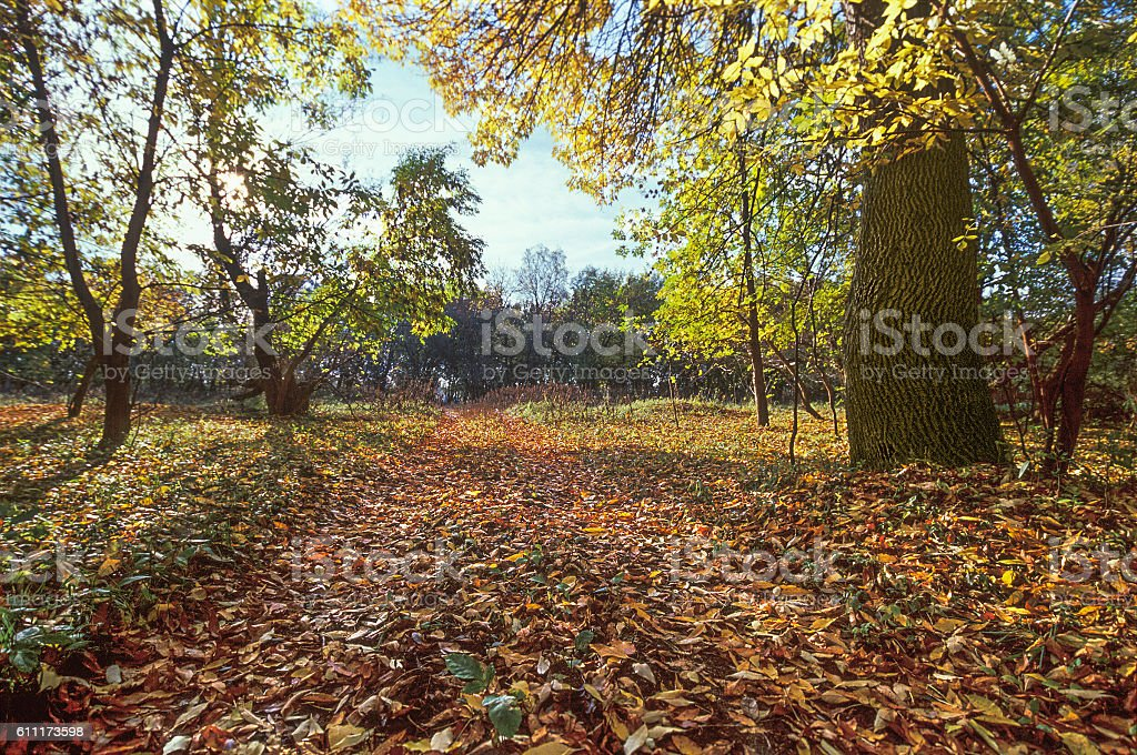 Strewn with yellow leaves The road through the autumnal forest. stock photo