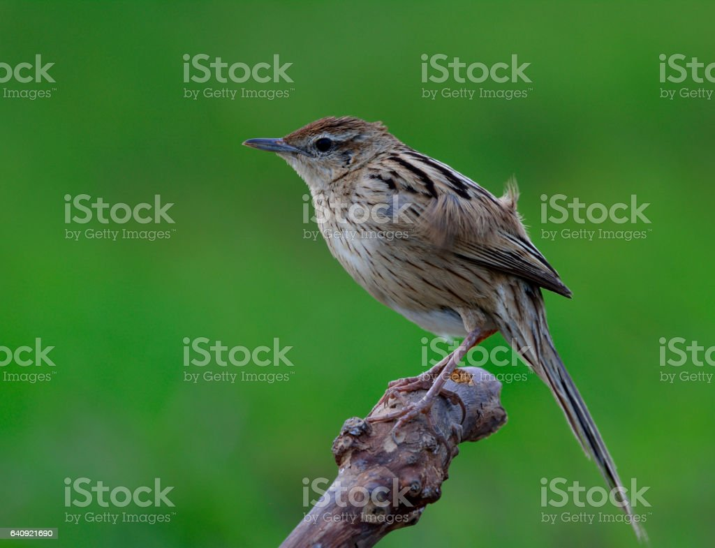 Striated Grassbird (Megalurus palustris) striped brown bird with long tail stock photo