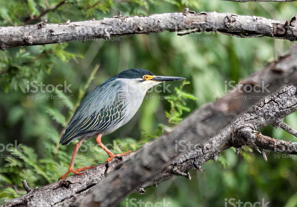 Striated (Green-backed) Heron, Butorides striata, Okavango, Botswana, Africa stock photo