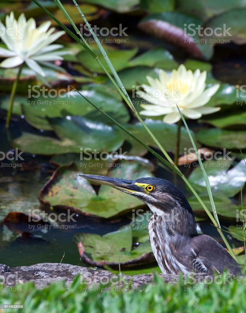 Striated heron or mangrove heron stock photo