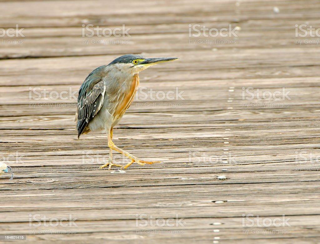 Striated Heron - Panama stock photo