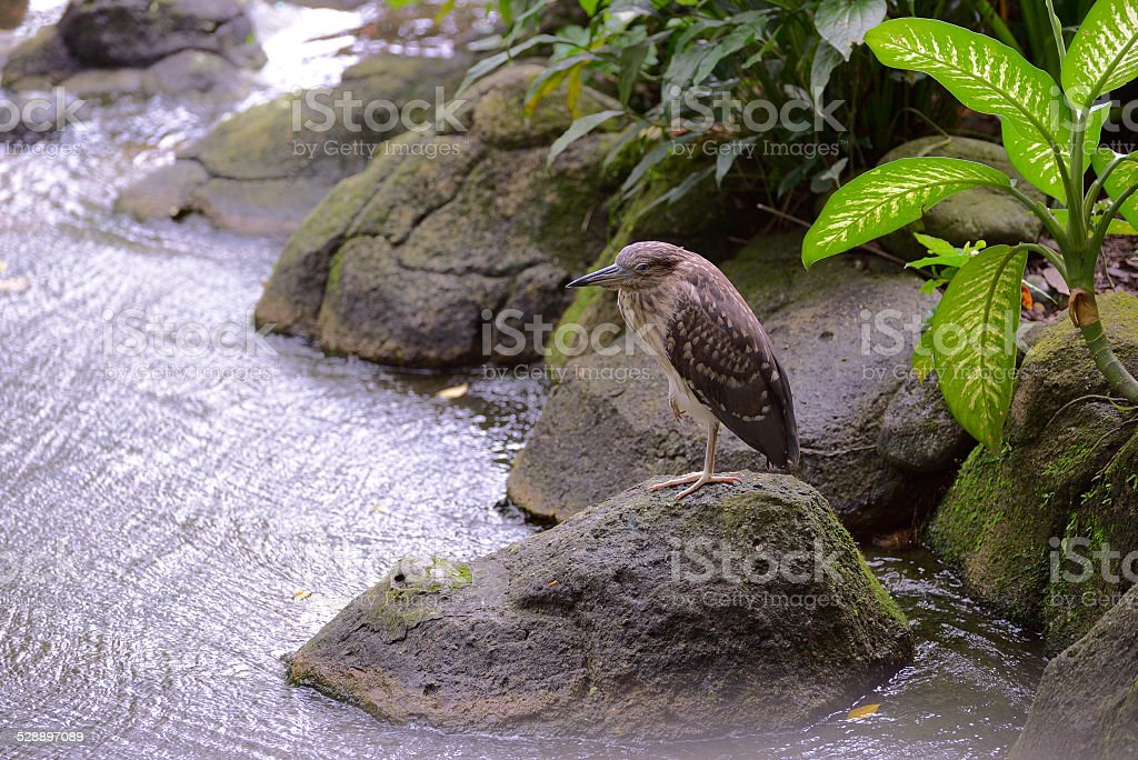 Striated heron stock photo