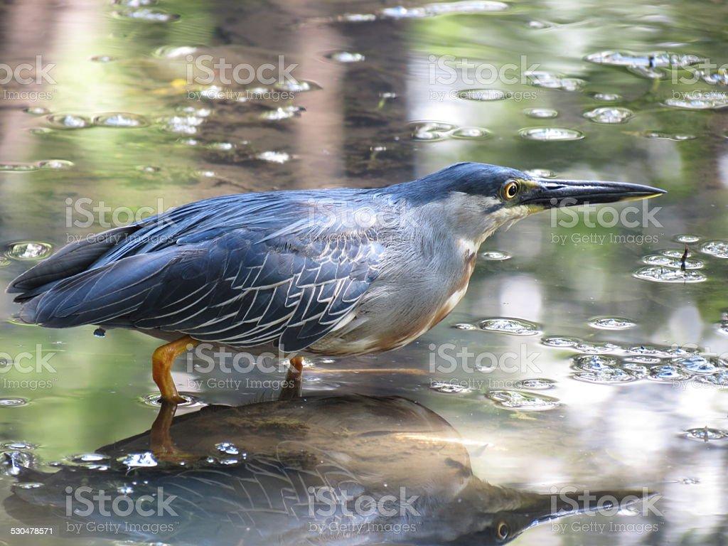 Striated Heron foto royalty-free