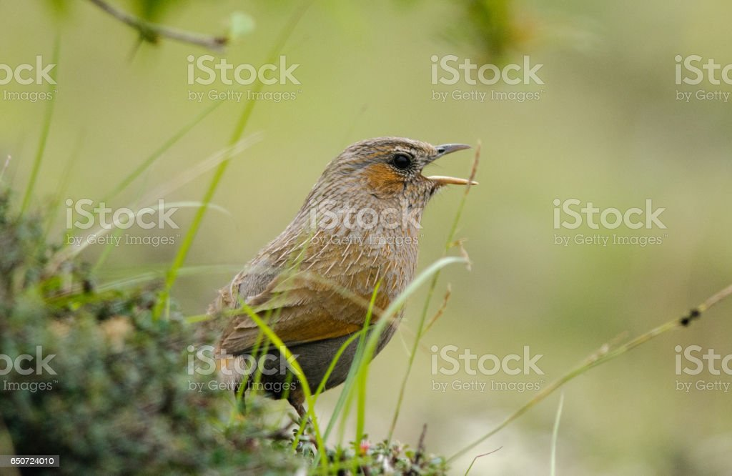 Striated laughingthrush stock photo
