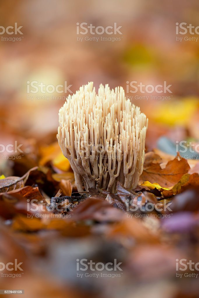 Strict-branch coral (Ramaria stricta) at the forest floor stock photo