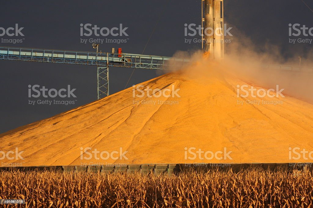 Striking Gold with Corn in Iowa stock photo