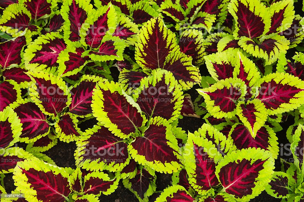 Striking green and red foliage stock photo
