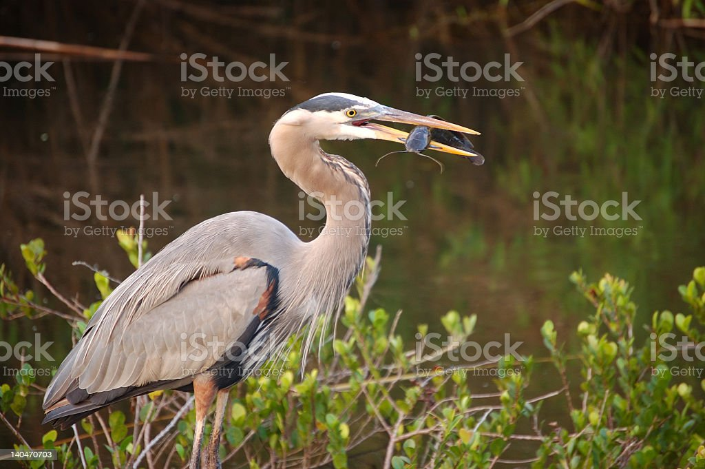 A striking image of a Great Blue Heron holding a Catfish  stock photo