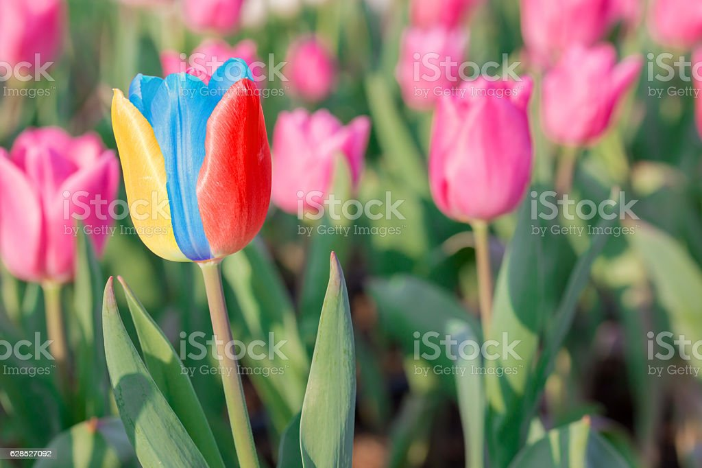 Striking multicolor flowering tulip differs from the many pink b stock photo