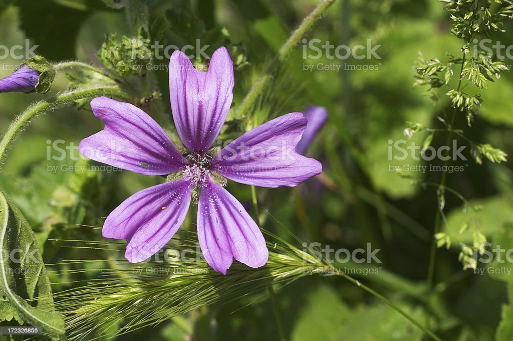 Purple flower common mallow Malva sylvestris stock photo