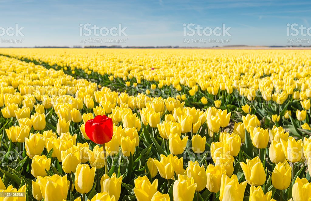 Striking red blooming tulip among lots of yellow tulips stock photo