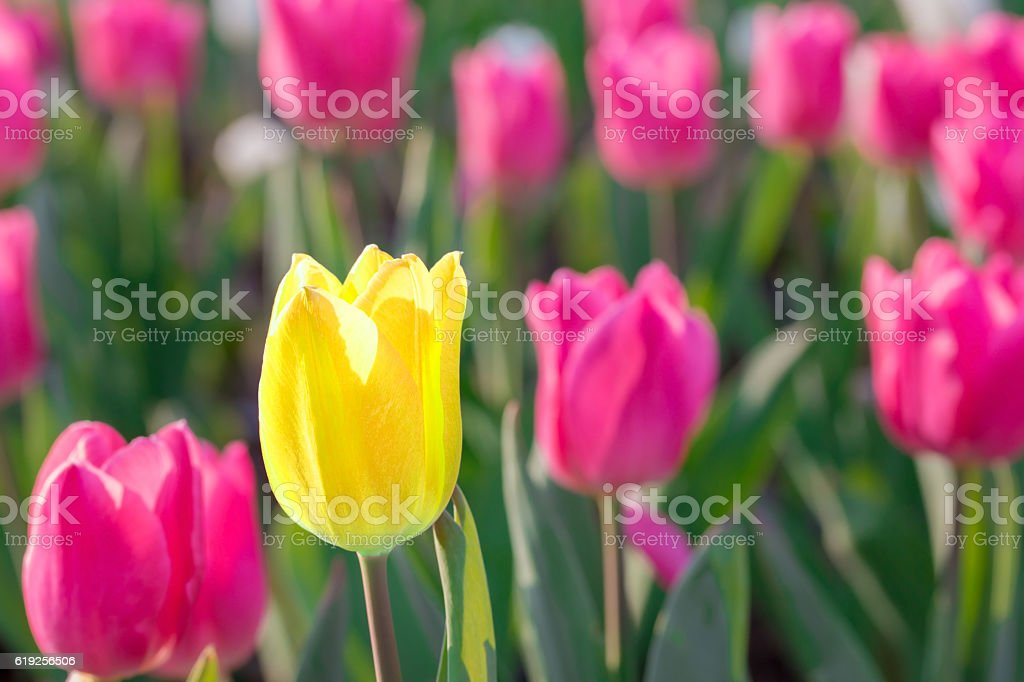 Striking yellow flowering tulip differs from the many pink bloom stock photo