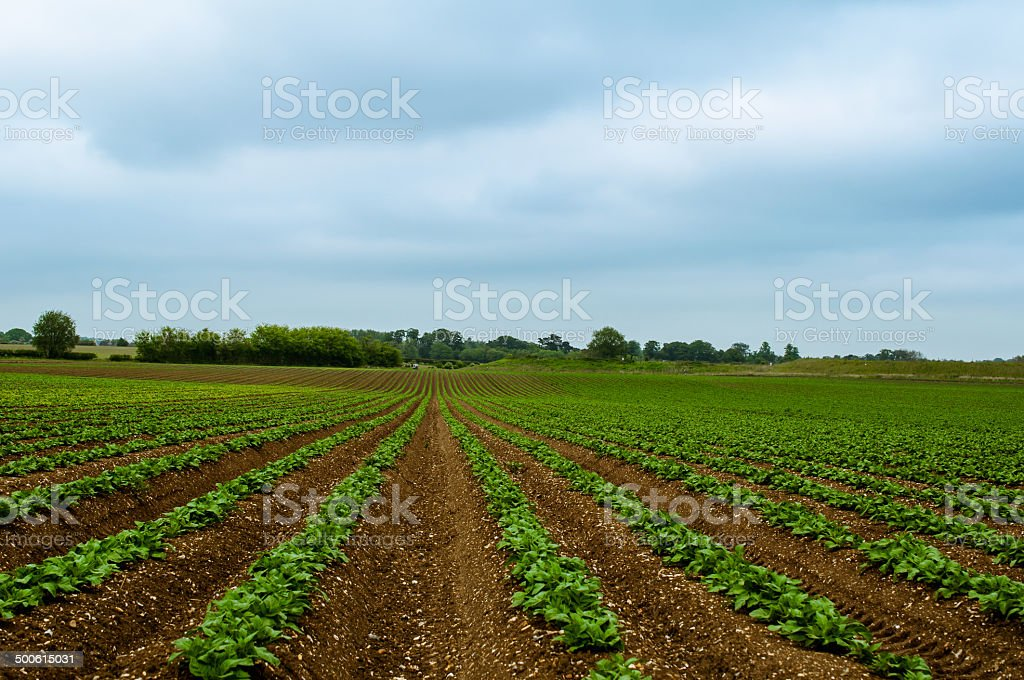 String Beans growing in the rich brown earth stock photo