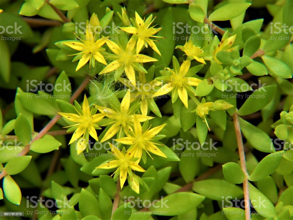 Stringy Stonecrop Flowers in Bloom stock photo