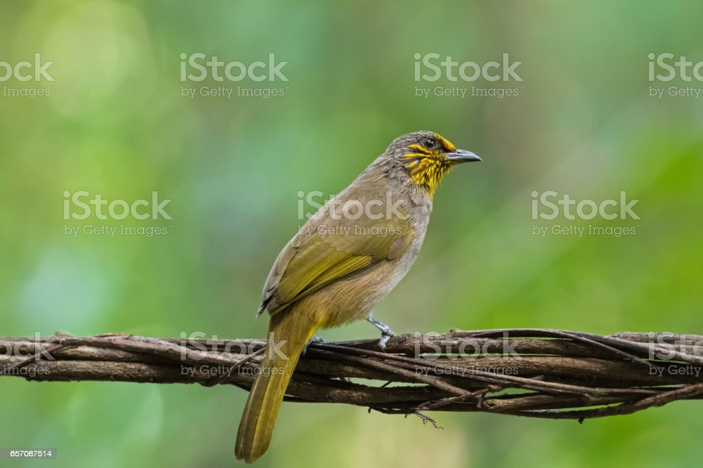 Stripe throated, Streak throated bulbul bird in yellow perching on tree branch stock photo