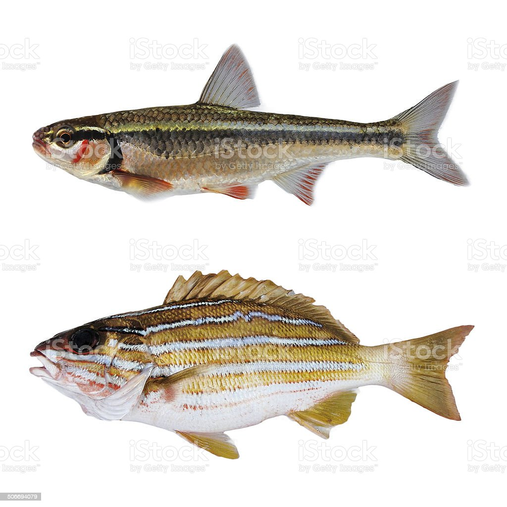 striped bass fish stock photo