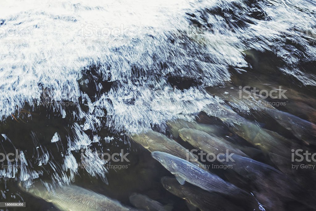 Striped Bass in River stock photo