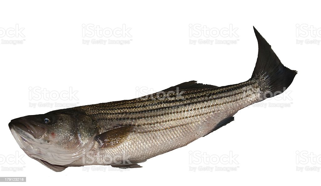 Striped Bass Isolated on White royalty-free stock photo