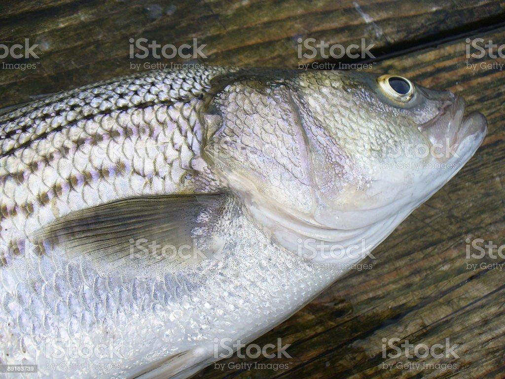 Striped Bass Macro royalty-free stock photo