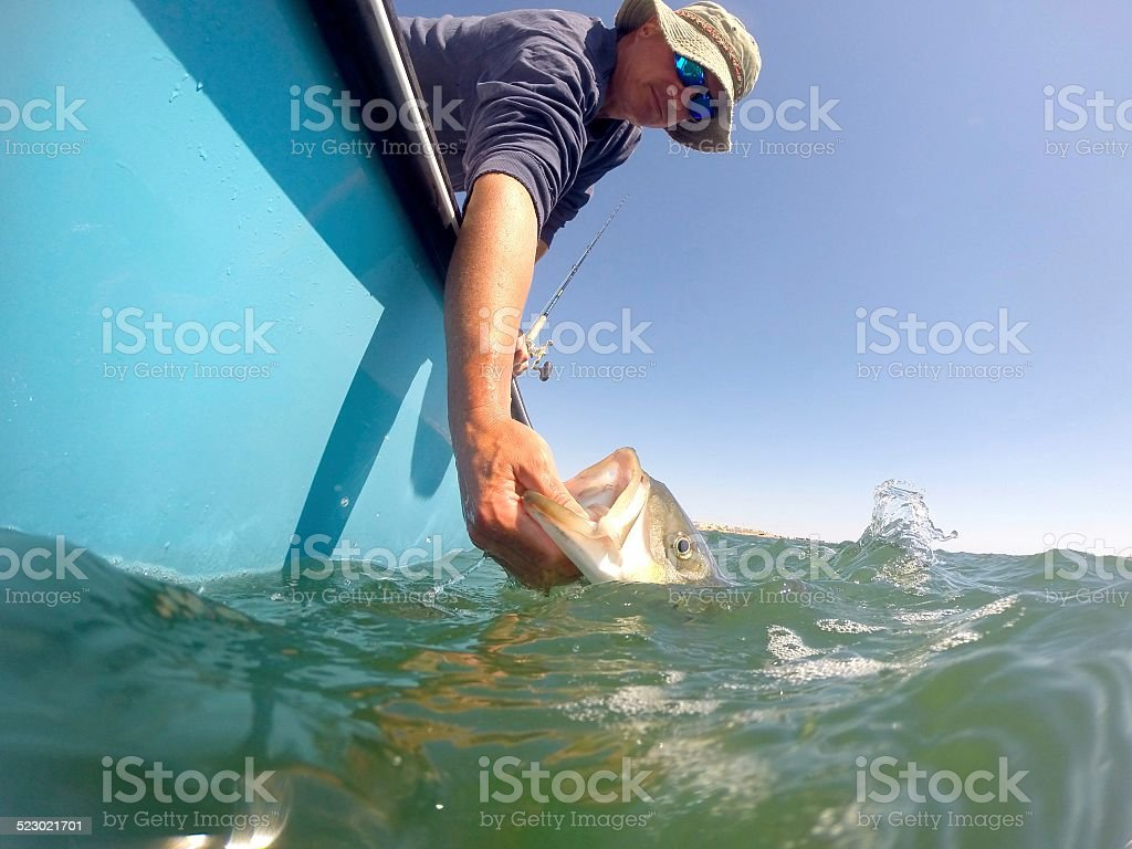 Striped Bass Release stock photo