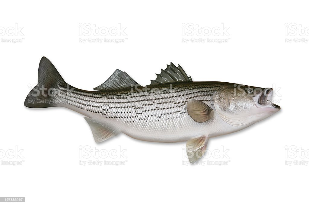 Striped Bass with Clipping Path stock photo