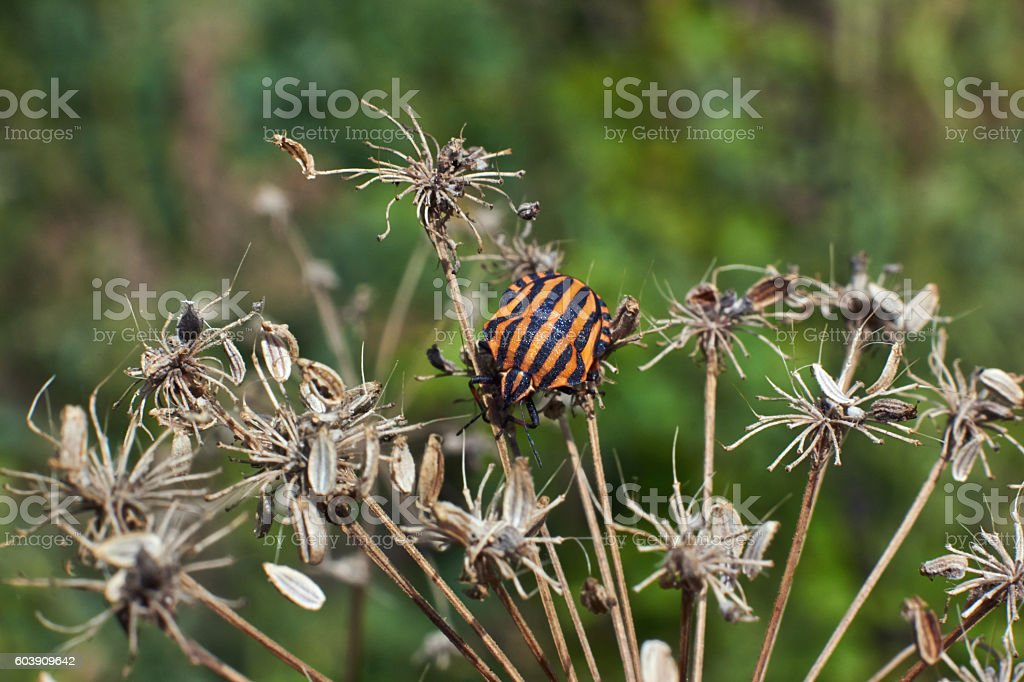 Striped beetle on the dry   grass. stock photo