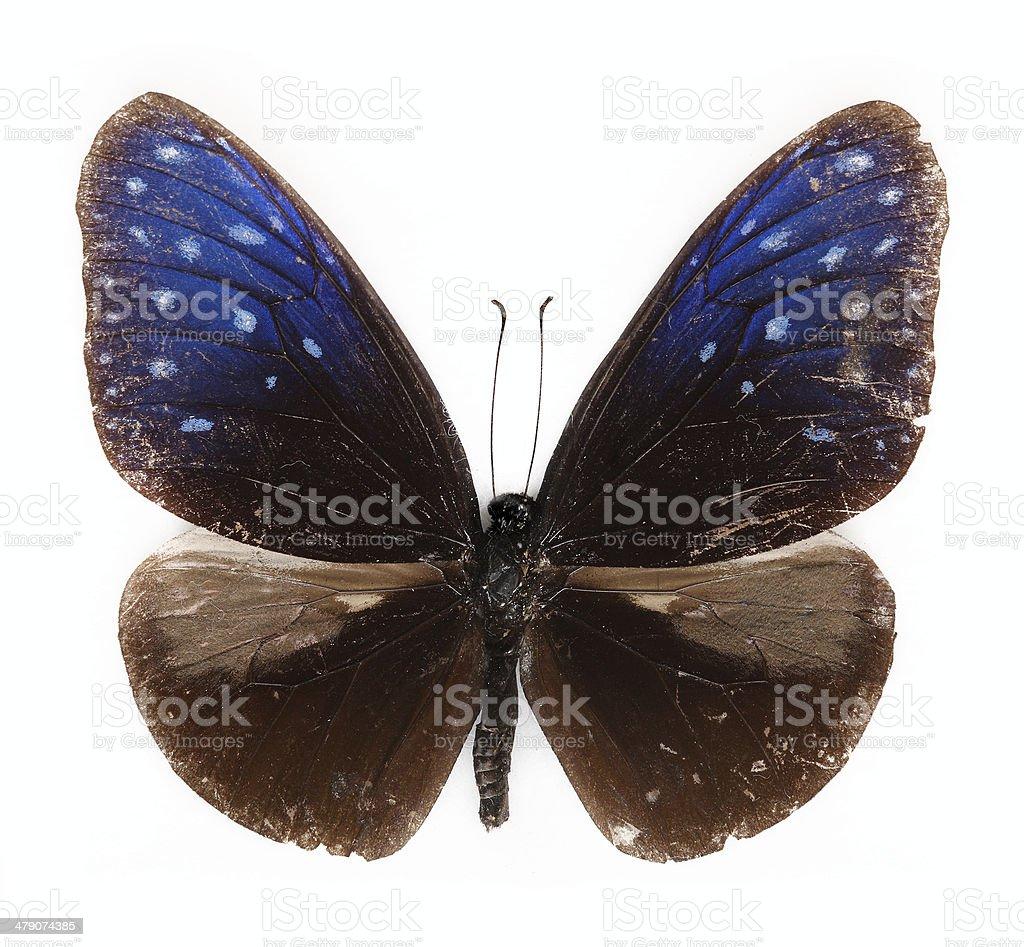 Striped Blue Crow Euploea mulciber  Butterfly stock photo