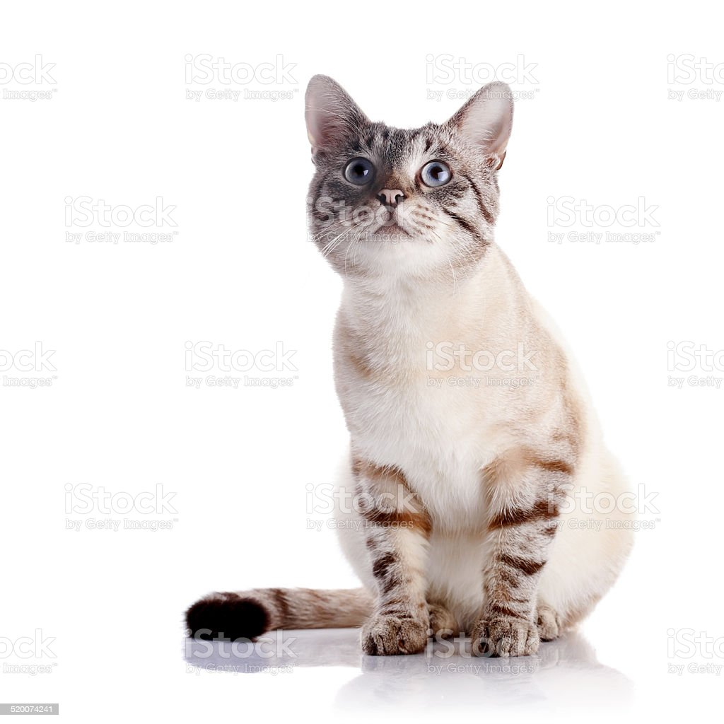 Striped blue-eyed cat stock photo