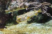 Striped burrfish (Chilomycterus schoepfi) and longspined porcupi