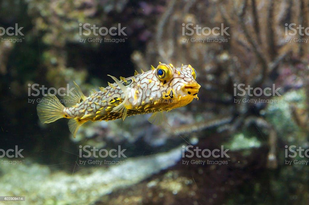 Striped burrfish (Chilomycterus schoepfi) stock photo
