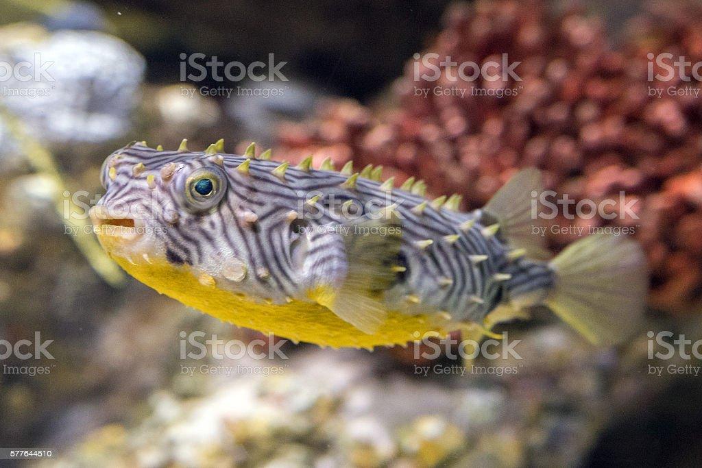 striped burrfish underwater close up macro detail stock photo