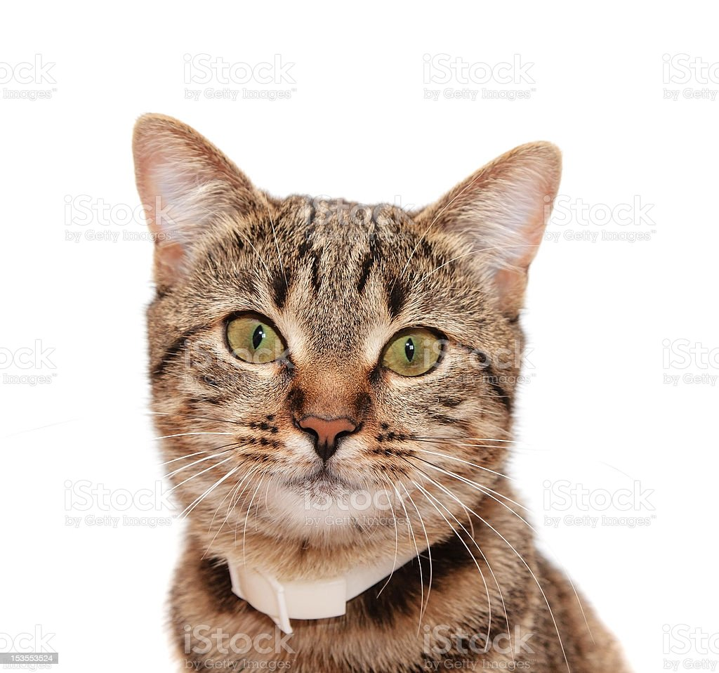 Striped cat in a collar royalty-free stock photo