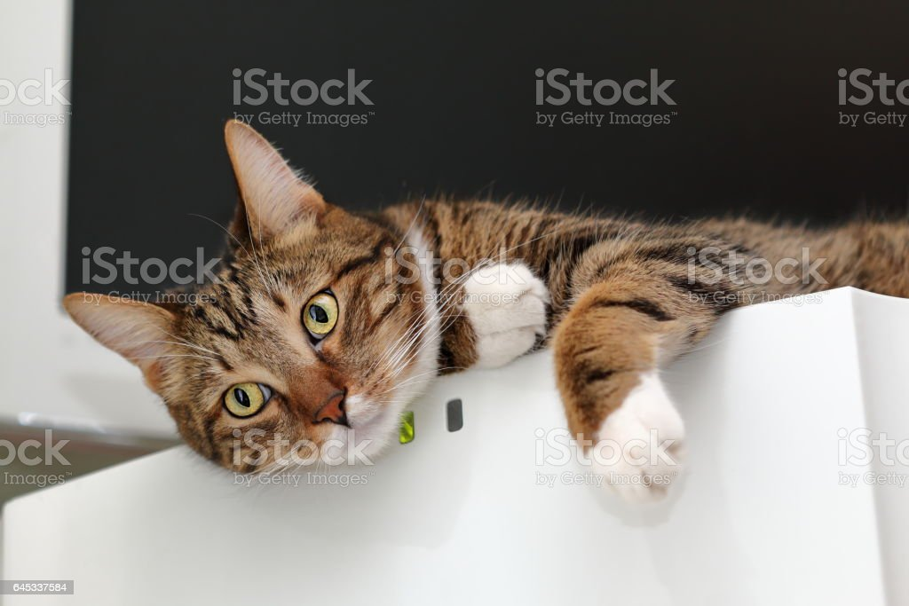 Striped cat on top of a fridge stock photo