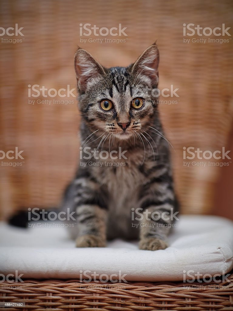 Striped domestic kitten stock photo