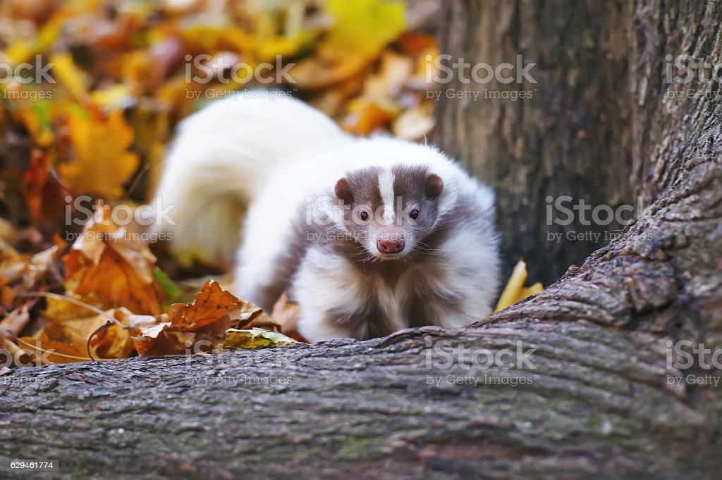 Striped domestic skunk posing outdoors near a tree in autumn stock photo