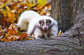 Striped domestic skunk posing outdoors near a tree in autumn
