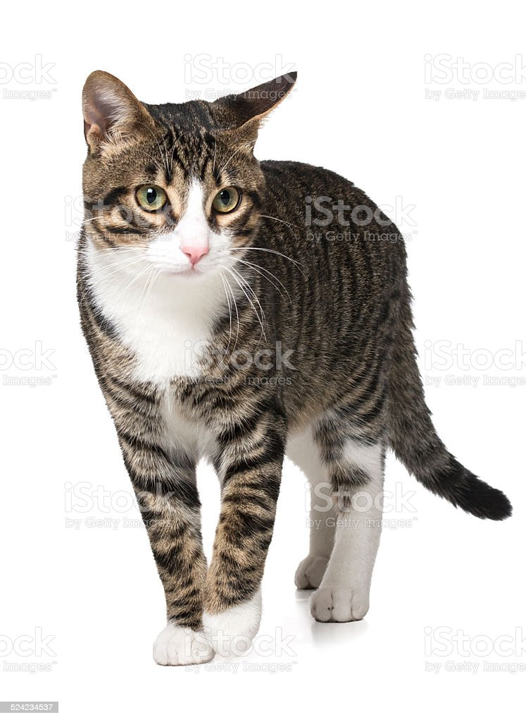 Striped european cat II stock photo