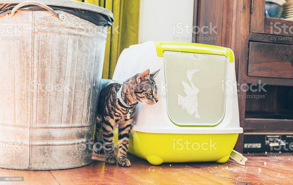 Striped grey tabby standing alongside a litter box stock photo