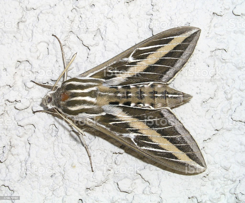 Striped hawkmoth stock photo