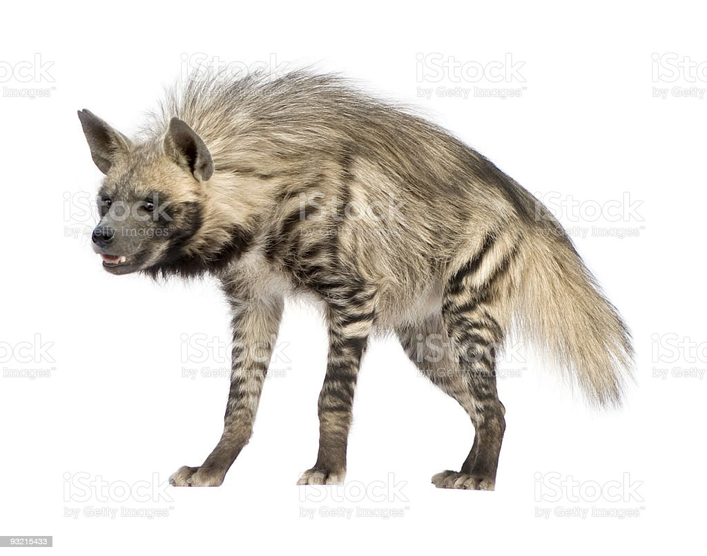 A striped hyena standing and smiling stock photo