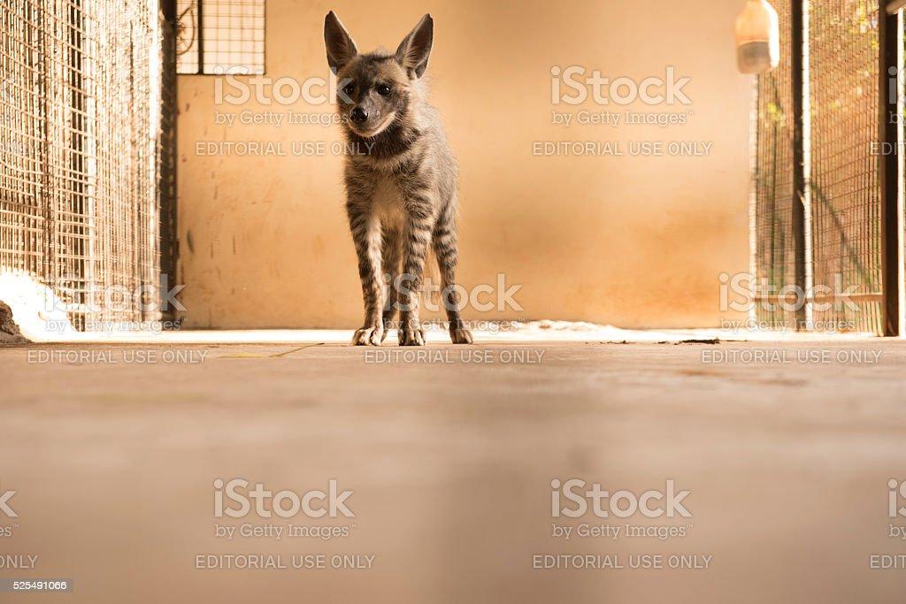 Striped hyena Zanzibar stock photo