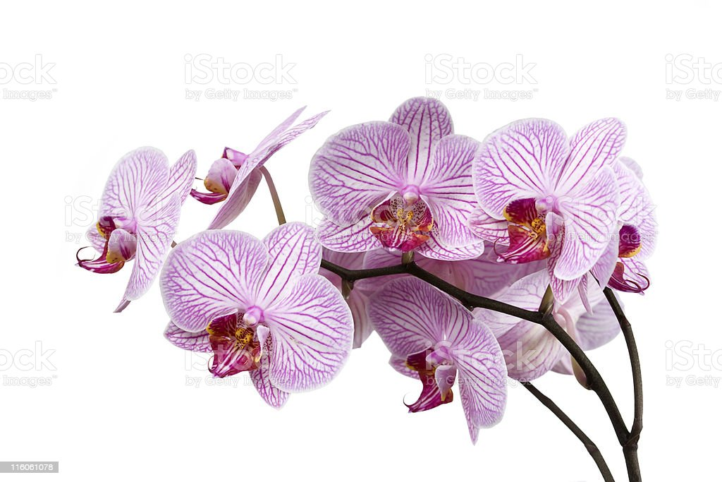 Striped Orchid (Phalaenopsis) royalty-free stock photo