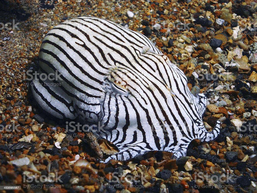Striped Pajama Squid stock photo