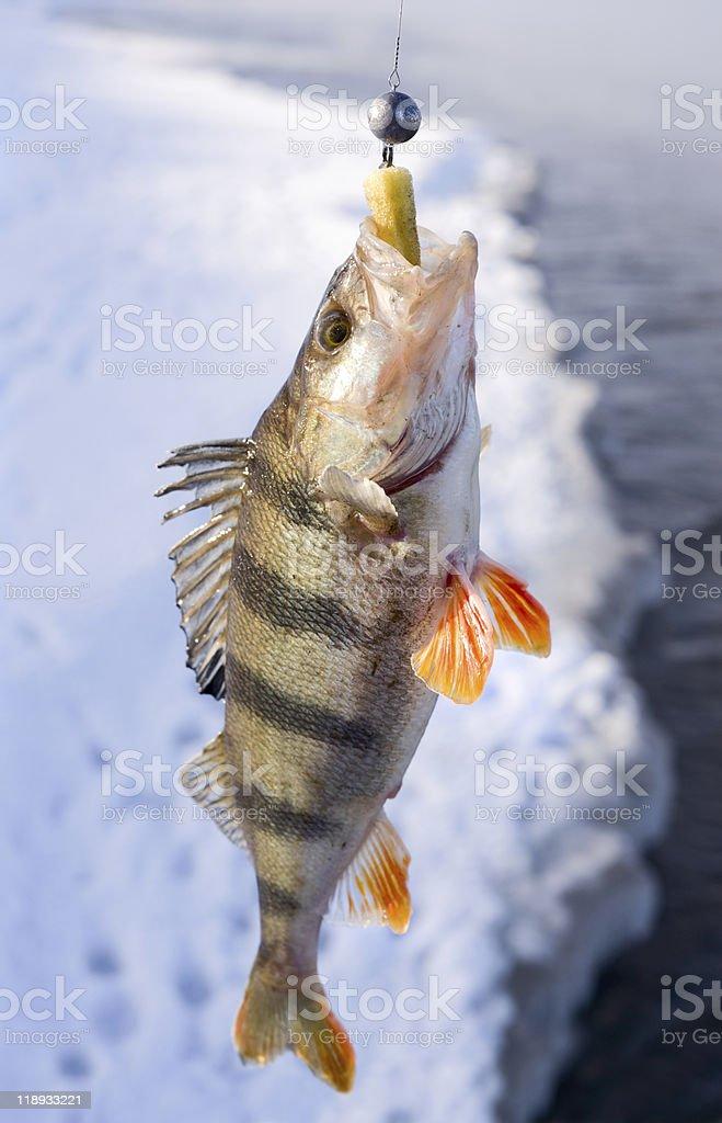 Striped perch royalty-free stock photo