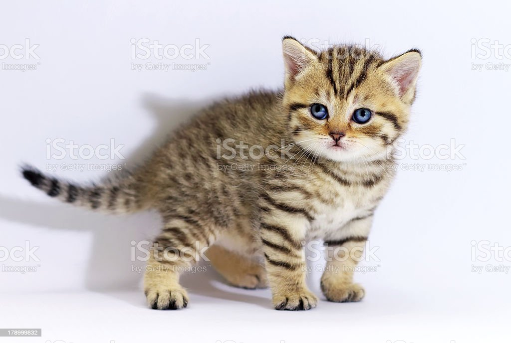 Striped scottish kitten with blue eyes. royalty-free stock photo