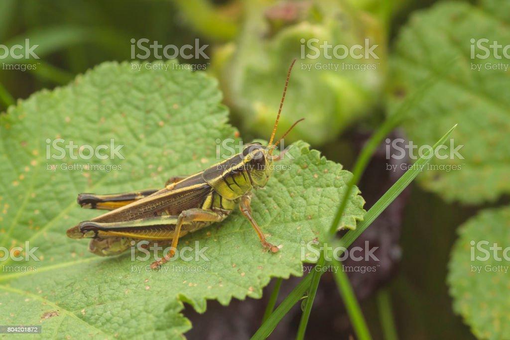 Striped Sedge Grasshopper stock photo
