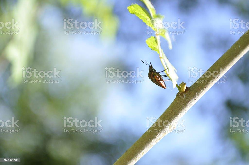striped shield bug (Graphosoma lineatum) upside down stock photo