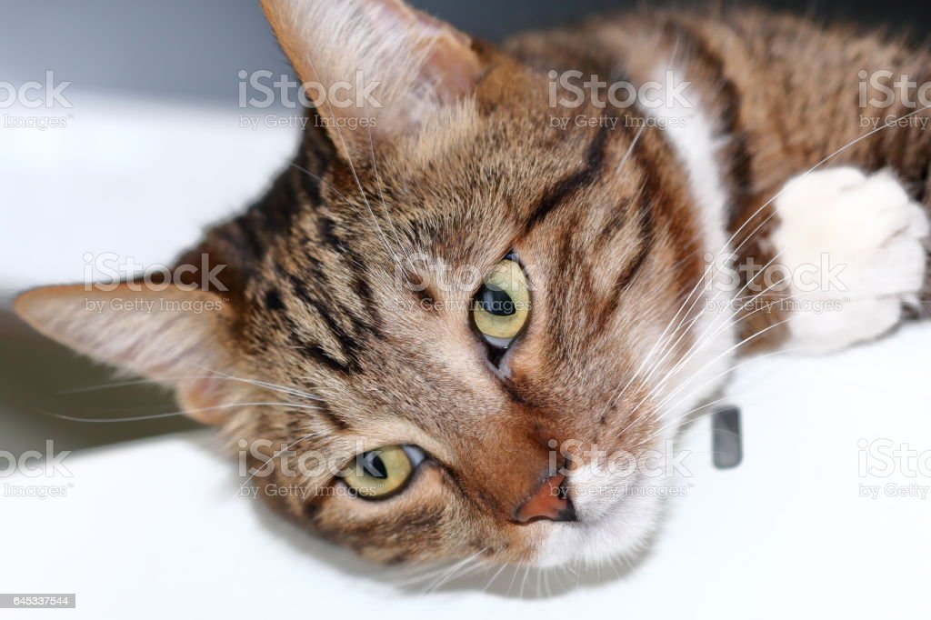 Striped short-haired cat lay on the fridge stock photo