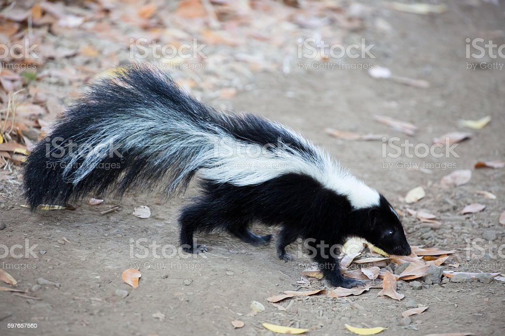 Striped Skunk, Mephitis mephitis. Rancho San Antonio County Park, California stock photo